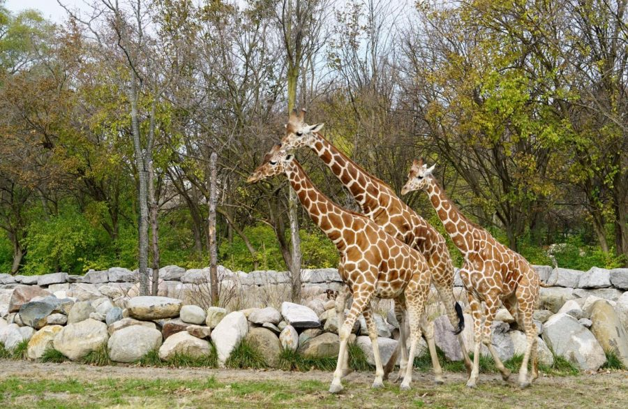 Zara and the other giraffes are getting along very well!
